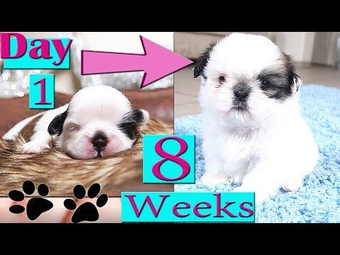 Shih Tzu Growing Up Day 1 To Week 8 Puppy Transformation Too Cute Youtube Cute Cats And Dogs Cute Puppy Videos Shih Tzu Puppy