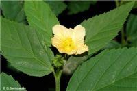 Factsheet - Sida rhombifolia