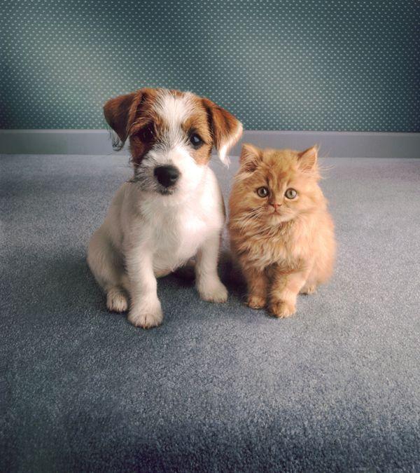 Щенок терьера и рыжий котенок. Фото | Смешные фотографии ...