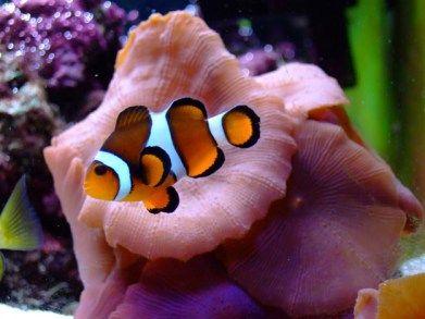 clown fish reef aquarium