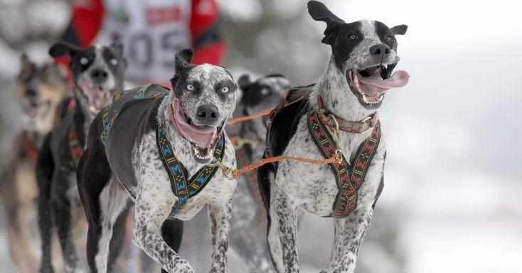26/jan/2013 - BELARUS - Cães puxam trenó durante corrida internacional canina, na aldeia de Raubichi, cerca de 20 km de Minsk, em Belarus. Photo: Tatyana.