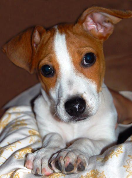 Historia: El terrier de Jack Rusell es popular en Gran Bretaña, aunque no posee una raza propia ya que no se ha llegado ningún acuerdo sobre el aspecto que ...
