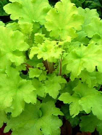 "Heuchera 'Lime Marmalade' bright chartreuse leaves on this shade-loving evergreen. Grows to 10"" tall.  Tolerates shade."