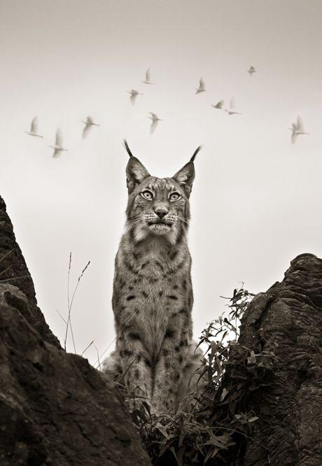 #Lynx #big-cat #animal...Hoping for tons of followers. Please check out my boards.