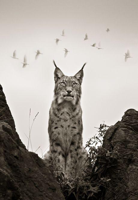 Eurasian Lynx (Lynx lynx) are found from the Alps to Siberia.  -kc