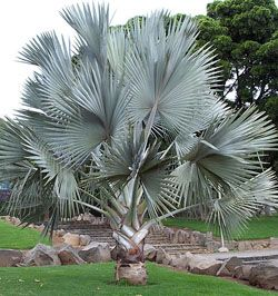 Silver Bismarck Palm - Bismarckia nobilis - California Palm Nursery