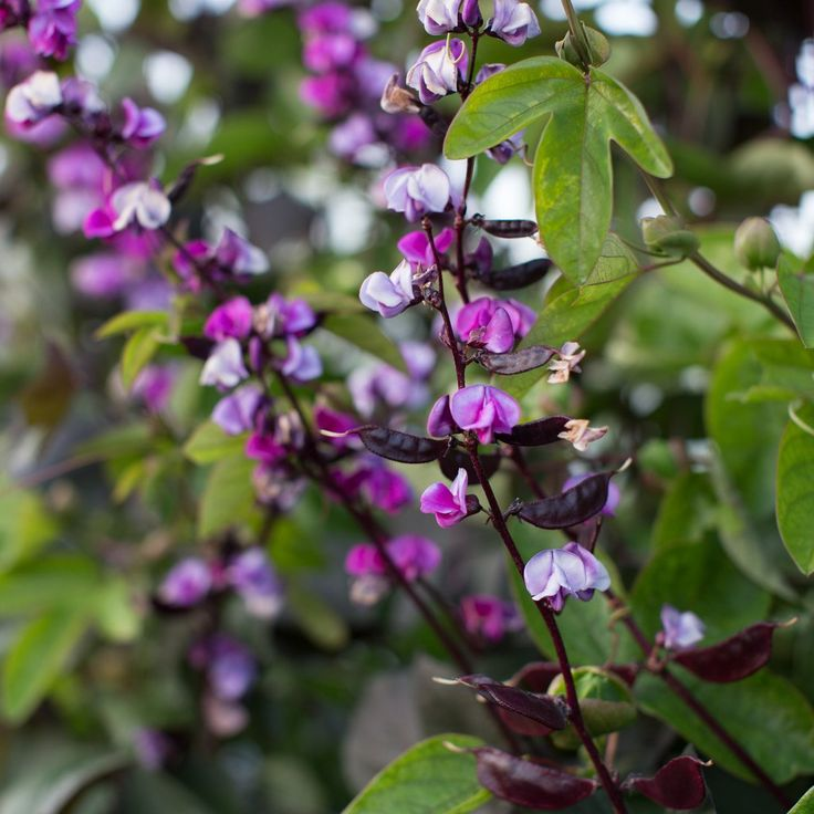 This vigorous climber's eye-catching dark foliage is smothered in wine colored pea like blossoms. As the flowers fade, long stems covered in vivid, glossy plum seed pods appear.
