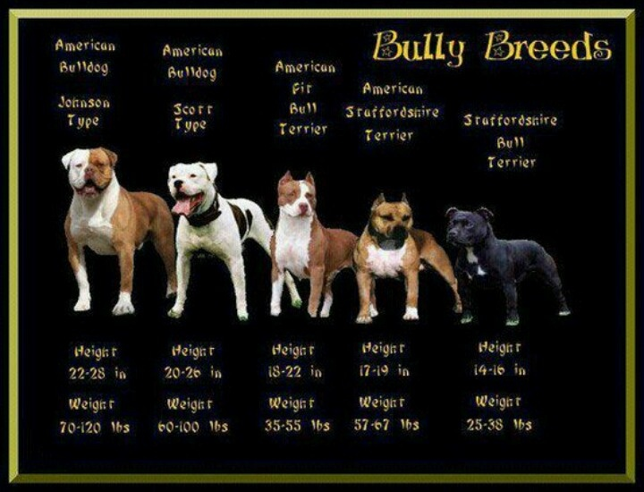 """These are all of the different types of dogs that are categorized under the name """"pit bull"""""""