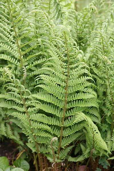 Buy male fern Dryopteris filix-mas: Delivery by Crocus