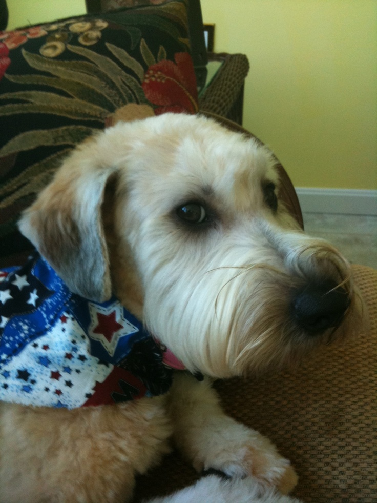 My Wheaten Terrier, Lily. We keep Lily's facial hair short ...