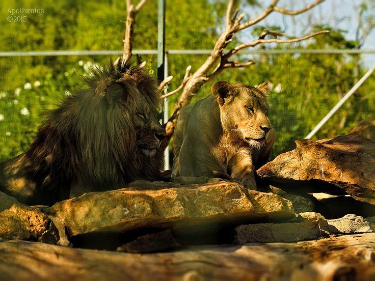 https://flic.kr/p/x1C1Ro | lions |
