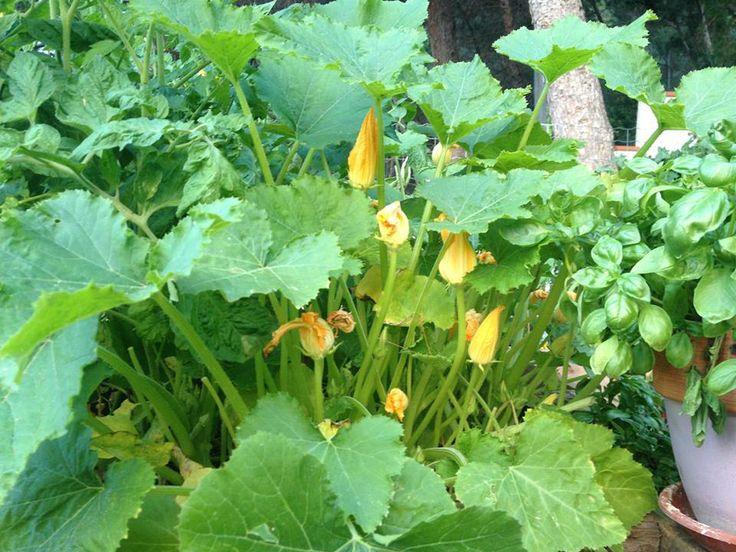 #G.vegetablegarden #ortointerrazza #piccoliortidomesticicrescono #fioridizucca #ortocapovolto #ortopallet