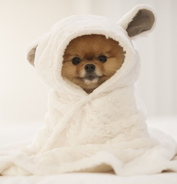 Pomeranian Puppy in a Tiny Towel!!! XD AWWW!!!!! <3 <3 <3