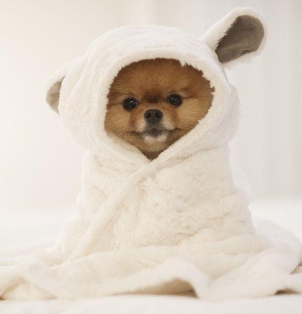 Pomeranian Puppy in a Tiny Towel!!! XD AWWW!!!!! <3 <3 <3