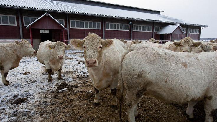 Lihakarjan ulkoilusta ei ole säädöksiä. Yleisenä ja hyvänä käytänteenä lihakarjatiloilla on kuitenkin, että naudat laiduntavat kesäaikaan ja ulkoilevat mahdollisimman usein muina vuodenaikoina.