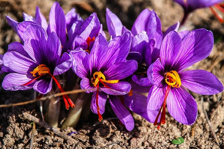 EXTRAORDINARY BENEFITS AND USES OF SAFFRON. Are you aware of the extraordinary benefits and uses of saffron? If yes, kudos to you otherwise read through this post to learn more about it..   #Saffron.