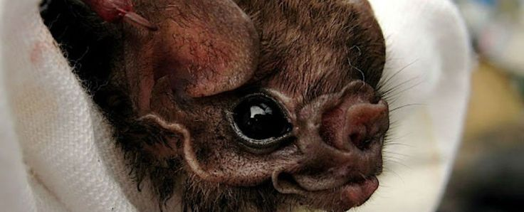 As intimidating as they might sound, vampire bats aren't usually in the business of bothering humans for their blood. In fact, the hairy-legged vampire bat species was thought to feed almost exclusively on birds.