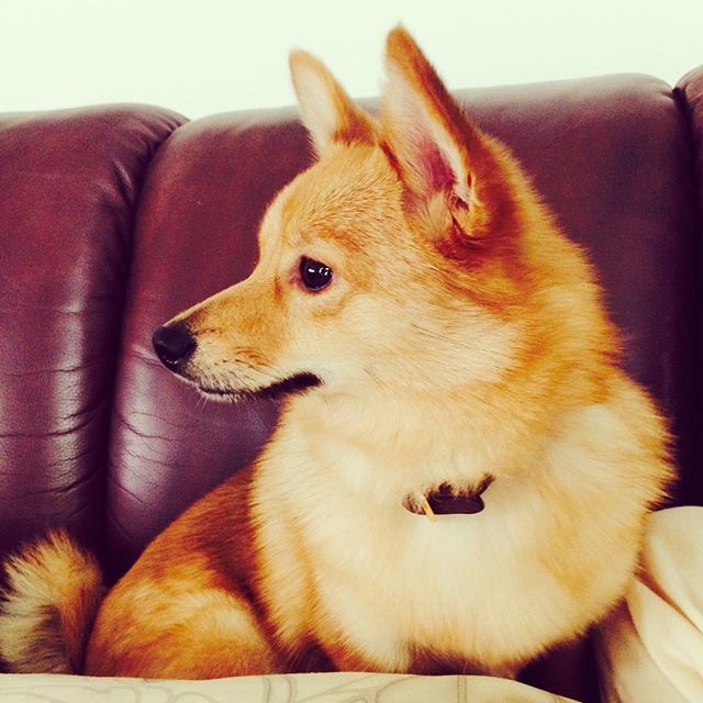 25+ best Corgi Pomeranian Mix ideas on Pinterest ...