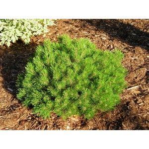 "Havasi törpefenyő 20/30 FL.-Pinus mugo""Mops""-4590 Ft"