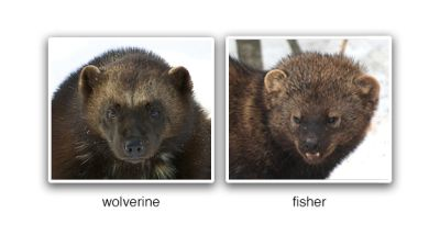 17 Best ideas about Wolverine Animal on Pinterest | Bears, Wild animals and Primates
