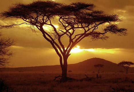 Trees in Africa | Acacia Trees Could Solve Africa's Soil Problems, Be the Future for ...