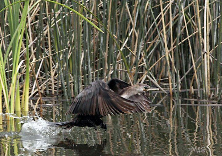 Bíguá - Phalacrocorax Brasílíanus. Reserva Natural Puerto Mar del Plata, Buenos Aires. Foto: María José Solís