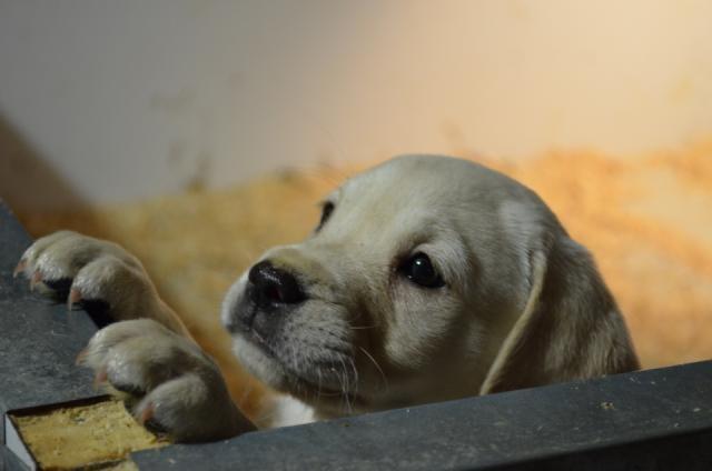 Labrador à vendre   Chaudière-Appalaches - #chiot #labrador