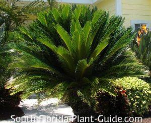 17 best images about florida plants on pinterest sun for Cycas landscape design