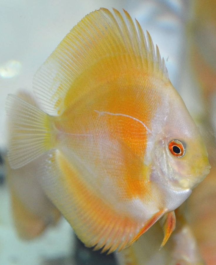 17 best images about freshwater tropical cichlids discus for Keeping discus fish