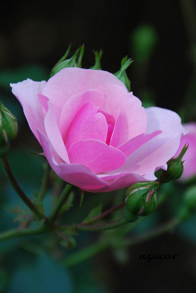 36 best bonica rose images on pinterest beautiful roses. Black Bedroom Furniture Sets. Home Design Ideas