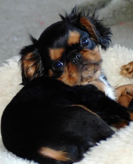 Toy Breed Dogs : Small dog breeds of dogs puppy site