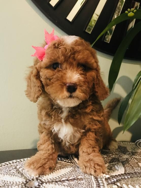 Pin By Perplexe On Fur Babies Feathered Friends Mini Bernedoodle