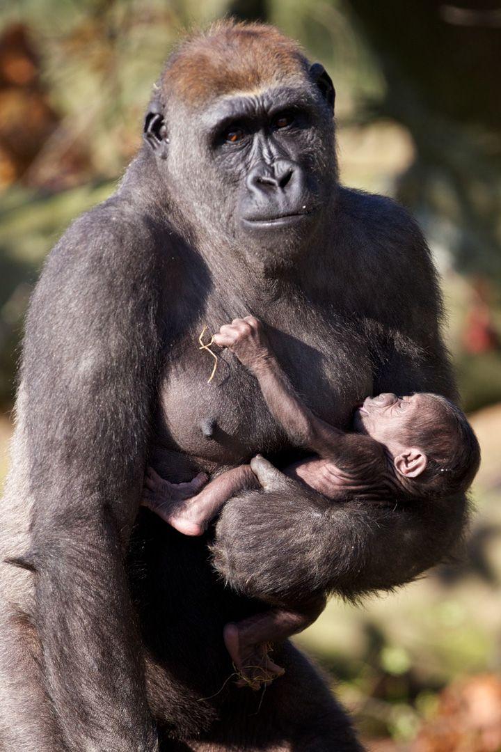 Nursing baby gorilla & mama. Yay cradle hold! ;) #breastfeeding #primates