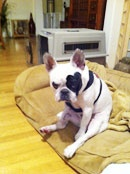 LeStat - french bulldog rescue network  an available frenchie in Southern California