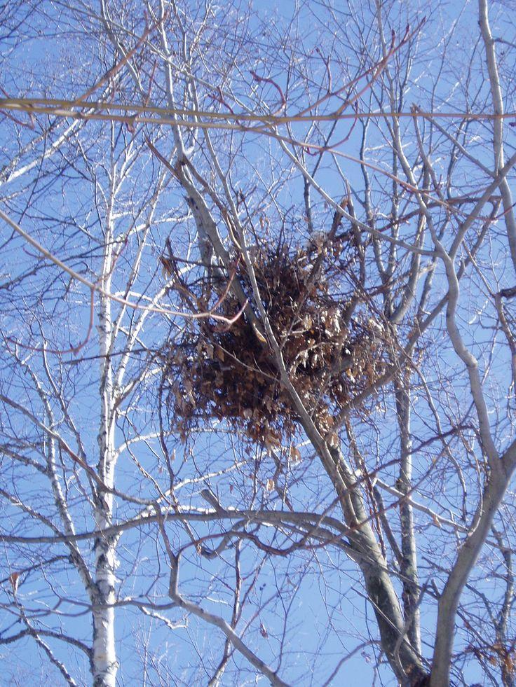 A Bear Quot Nest Quot In A Beech Tree Beech Tree Black Bear Bear
