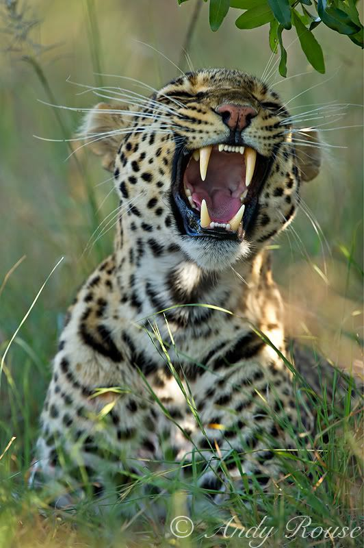 African Leopard by Andy Rouse. http://www.awf.org/wildlife-conservation/leopard