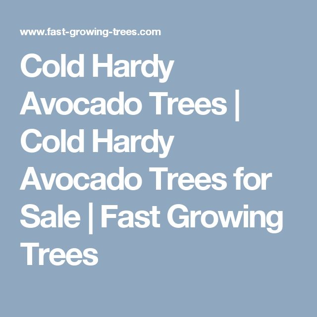 Cold Hardy Avocado Trees | Cold Hardy Avocado Trees for Sale | Fast Growing Trees