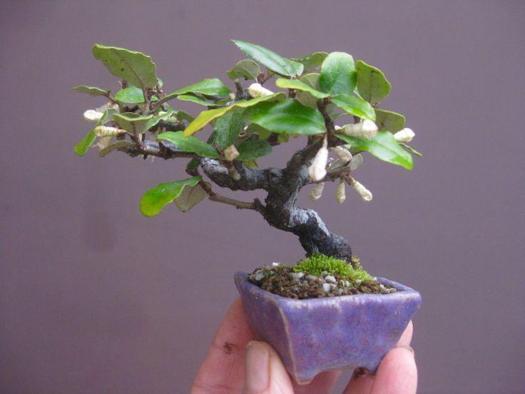 盆栽:寒グミのミニ の画像 春嘉の盆栽工房