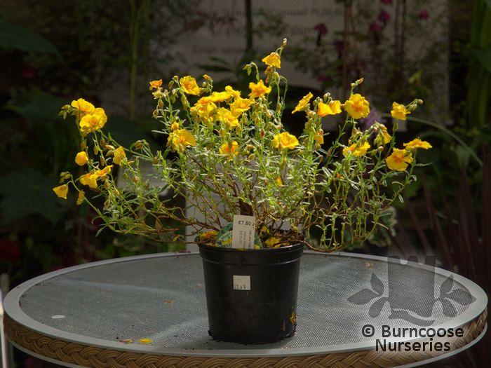Helianthemum Ben Fhada Plants By Mail Order From Burncoose Nurseries Your Online