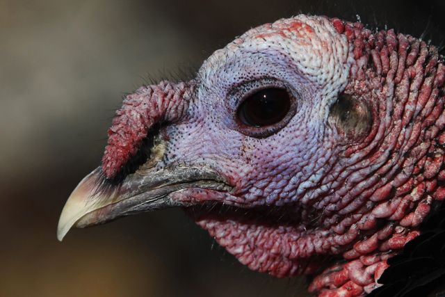 BREAKING: Butterball turkeys won't be fattened up in time for the annual feast.