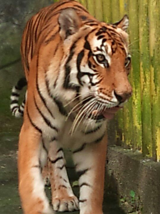 Taken in 2010 at Albay Wildlife and Nature Park.   DID YOU KNOW:  √ You can hear a tiger roar over a mile away!  √ A tiger can eat 100 pounds of meat a night! Compare that to 400 hamburgers! They need a lot of food because they go days between meals.  √ Tigers have been called man eaters, yet they eat frogs, monkeys, porcupines fowl, and tortoises, especially when a good deer is hard to find. .