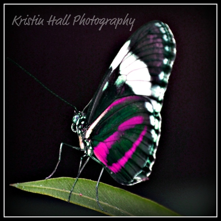 Fuschia Butterfly at the Calgary Zoo  Photography by Kristin Hall Copyright 2012  www.facebook.com/acraftywife