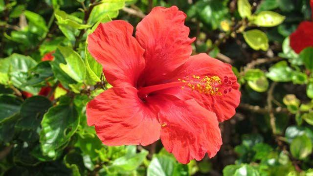 Mit seinen intensiven, meist roten, Blüten ist der Hibiskus eine Zierde für jeden Garten. Und auch als Zimmerpflanze ist die hawaiianische Nationalblume sehr beliebt – leider auch bei Blattläusen. Der bei uns auch als Roseneibisch bekannte Hibisku...