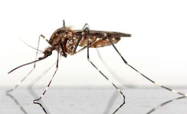 Zika vírus találtak egy új szúnyogtípusban