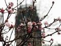 #Winterblueher: Mit Pflanzen, die ihre Blüten zwischen Nov. & März entfalten, bietet sich in dieser Zeit ein reizvolles Gartenbild. Bereits im Nov. zeigen sich die ersten Blüten an den Zweigen von weißrosa #Duftschneeball (Viburnum farreri), #Winterball (Jasminum nudiflorum) & #Winterschneeball (V. x bodnantense). Während die Blüten der Schneebälle durch Frost & Schnee zerstört werden, nehmen die Knospen keinen Schaden. Sie können schnell für Nachschub sorgen, wenn die Temperaturen steigen…