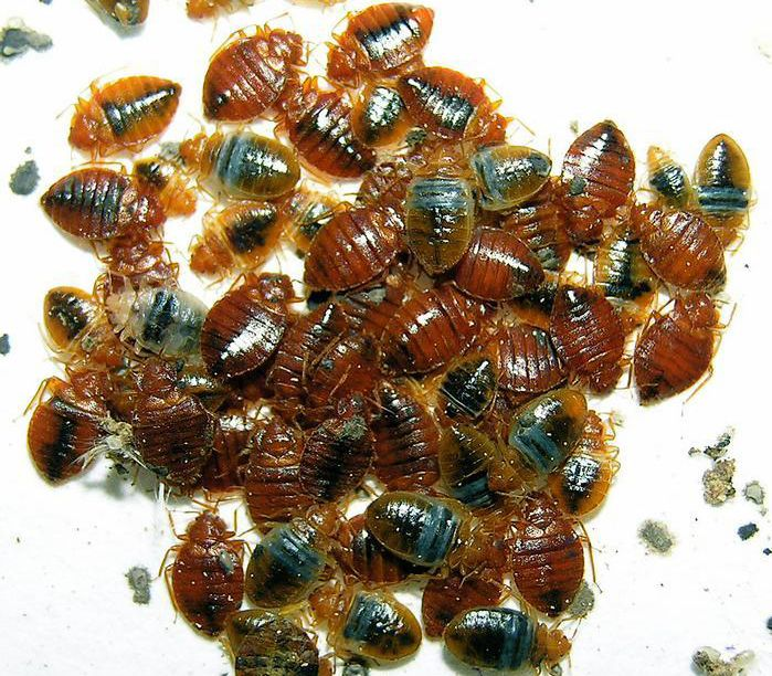 Study examines bed bug infestations in 2,372 low-income apartments in New Jersey