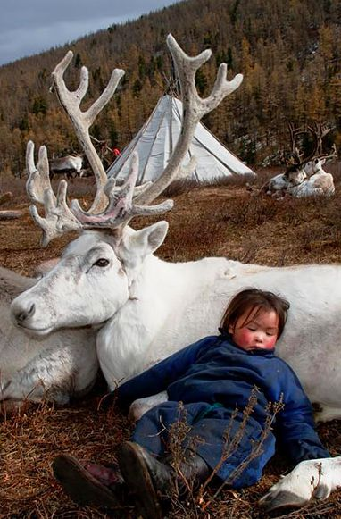 "A ""Dukha"" Youngster Asleep on The Warmth of The Tribe's Mongolian Reindeer. (Photo By: Hamid Sardar-Afkhami on Shareably.)"