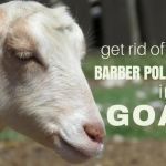 Treating Barber Pole Worms in Goats