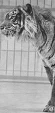 Javan tiger thought to be extinct
