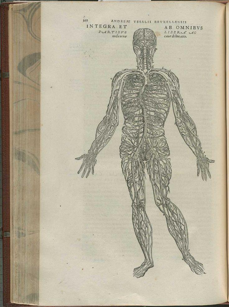 """Grabado anatómico de Andreas Vesalius """"De corporis humani fabrica libri septem"""" (Basiela, Johannes Oporinus, 1543)."""